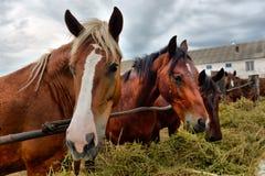 äta höhästar royaltyfri foto