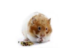 äta hamsteren Fotografering för Bildbyråer