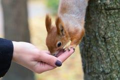 äta handekorren Vitryssland Gomel parkerar Fotografering för Bildbyråer