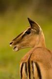 äta impalaen Royaltyfri Bild