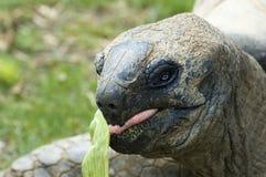 äta jätte- tortois Arkivfoto