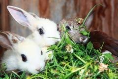 äta kaniner Arkivbilder