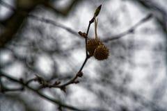 Äta kastanjebruna träd och mogna kastanjer som kan grillas eller ätit rått arkivfoton