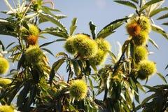 Äta kastanjen, kastanj, igelkott för söt kastanj i trädet Royaltyfri Foto