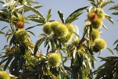Äta kastanjen, kastanj, igelkott för söt kastanj i trädet Fotografering för Bildbyråer