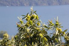 Äta kastanjen, kastanj, igelkott för söt kastanj i trädet Royaltyfria Bilder