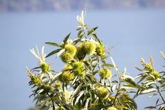 Äta kastanjen, kastanj, igelkott för söt kastanj i trädet Royaltyfri Fotografi