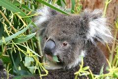 äta koalaen royaltyfria bilder