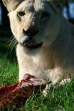 äta lionwhite Royaltyfri Fotografi