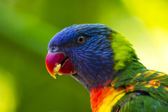 äta lorikeetregnbågen royaltyfria foton