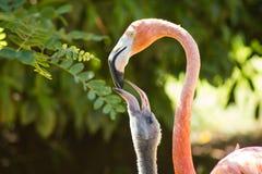 Äta lunch tid för den yngre flamingo (större flamingoprov, Phoenicopterus roseus) som är zoologic Royaltyfri Fotografi