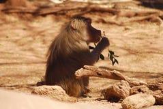 äta middag för baboon Arkivbilder