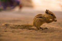 äta mutterekorren Fotografering för Bildbyråer