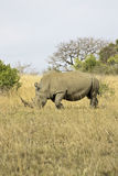 äta noshörningwhite Arkivfoto