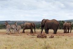 Äta och dricka Tid - afrikanBush elefant Royaltyfria Bilder