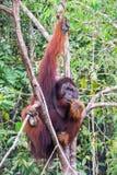 Äta orangutanget royaltyfria foton