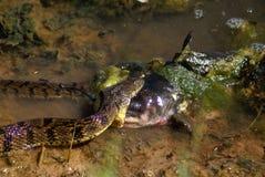 äta ormen Royaltyfri Fotografi