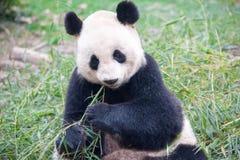 Äta Panda Bear, Chengdu, Kina fotografering för bildbyråer