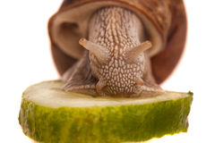 Äta snailcloseupen Fotografering för Bildbyråer