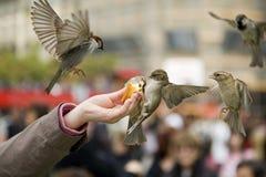 äta sparrows Arkivbild