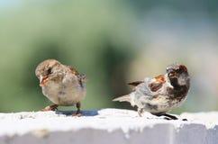 äta sparrows två Arkivbilder