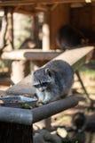 Äta tvättbjörn- eller tvättbjörnProcyonlotoren, också som är bekant som norr - amerikansk tvättbjörn på mattiden i zoo royaltyfria bilder