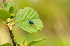 Äter den blåa skalbaggen för krypet sidorna av växter djurliv arkivbild