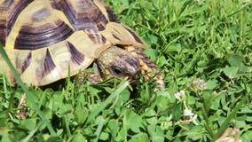 Äter den gamla grekiska sköldpaddan för pickolaflöjtår eller hermannÂs sköldpadda, växt av släktet Trifolium stock video