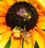 Äter den hållande ögonen på spindeln för biet flugan Royaltyfri Bild