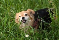 Äter den lilla hunden för rödhåriga mannen gräs går på Royaltyfria Foton