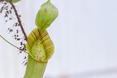 Äter det köttätande djuret för closeupen växten Royaltyfri Fotografi