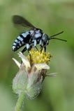 Äter det knäpp biet för neon, bi honungsdagg på en gul blomma arkivbilder