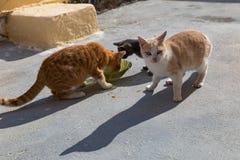 Äter hungriga katter för gata Arkivbild
