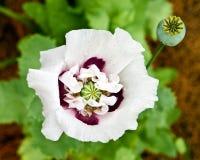 Ätherische Mohnblume Stockbild