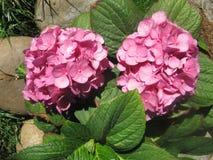 Ätherische rosa Blumen lizenzfreie stockbilder