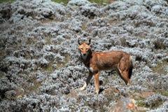 Äthiopischer Wolf in den Ballen-Bergen von Äthiopien in Afrika stockbild
