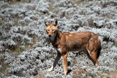 Äthiopischer Wolf in den Ballen-Bergen von Äthiopien in Afrika lizenzfreies stockbild