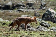 Äthiopischer Wolf in den Ballen-Bergen von Äthiopien in Afrika lizenzfreies stockfoto