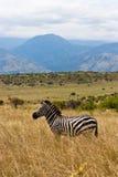 Äthiopischer Zebra auf der Savanne Lizenzfreie Stockfotos