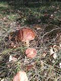 Ätlig champinjonsopp i höstskogen arkivbild