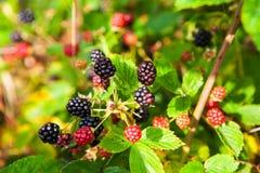 Ätlig frukt för skog arkivbild
