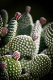 Ätlig kaktus för taggigt päron med mogna frukter Royaltyfria Foton