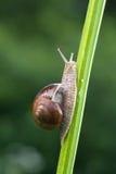 ätlig snail Arkivbilder