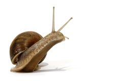ätlig snail royaltyfri foto
