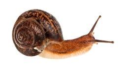 ätlig snail Fotografering för Bildbyråer
