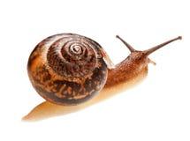 ätlig snail Arkivbild