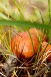Ätliga champinjoner för skog som är oljiga i mjuk fokus på en naturlig suddig bakgrund Arkivfoton