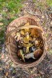 Ätliga champinjoner i en korg Fotografering för Bildbyråer