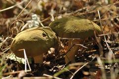 Ätliga champinjoner läckerhet Tillägget till disken Höst fotografering för bildbyråer