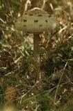 Ätliga champinjoner läckerhet Tillägget till disken Höst arkivfoto